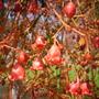 Brachychiton acerifolia - Illawarra Flame Tree Flowers (Brachychiton acerifolia - Illawarra Flame Tree Flowers)