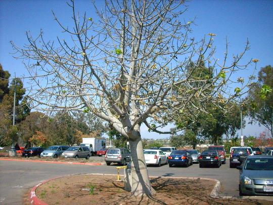 Brachychiton australis - Broad Leaved Bottletree (Brachychiton australis - Broad Leaved Bottletree)