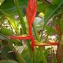 Heliconia schiedeana - Claw Flower (Heliconia schiedeana - Claw Flower)