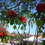 Euphorbia Pulcherrima - Poinsettia Plant Blooming in Balboa Park, San Diego, CA. (Euphorbia Pulcherrima - Poinsettia)