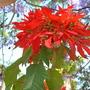 Euphorbia Pulcherrima - Poinsettia (Euphorbia Pulcherrima - Poinsettia)