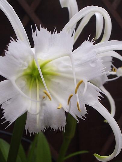 """Ismene x festalis """"Zwanenburg""""  (Peruvian daffodil)."""
