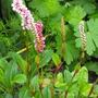 Persicaria affinis (Persicaria)