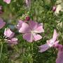 Malva - Rose Mallow (Malva moschata (Malva Almizclada))