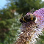 Bee_on_blue