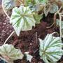 Begonia Anita Sherrad (Begonia hybrid)