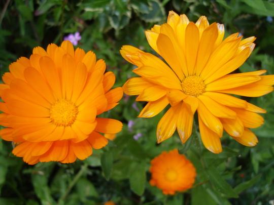 Marigolds......