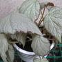 Begonia Two Faces (begonia hybrid)