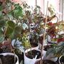 My begonia table (begonia)