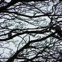 2 pigeons in sycamor tree
