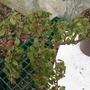 begonia foliosa (begonia)