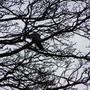 Pidgeon_in_tree