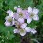 Rubus fruticosus (Bramble or blackberry flowers) (Rubus fruticosus)