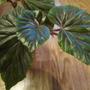 begonia Thurstonii (begonia hybrid)