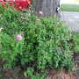Rosa centifolia 'Fantin-LaTour'