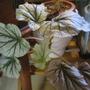 Begonia Don Miller (Begonia hybrid)