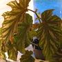 begonia Silver Mist (begonia hybrid)