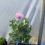 a weed in my polytunnel...