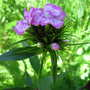 From mixed seed packet - pink phlox