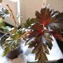 Begonia Brevirmosa (begonia hybrid)