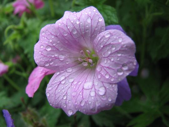 Geranium Endressii Wargrave Pink (Geranium Endressii Wargrave Pink)