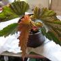 Begonia Springthaw (begonia hybrid)