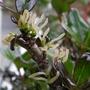 Coprosmia flower. I think.