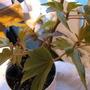 Begonia Lady Brown (begonia hybrid)