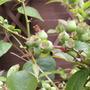 Blueberryforming