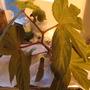Begonia Lady Clare (begonia hybrid)