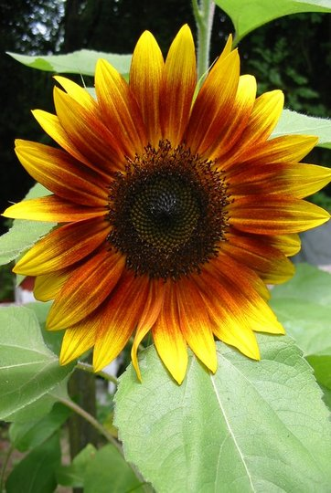 Early sunflower