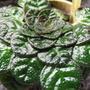 Begonniifolia