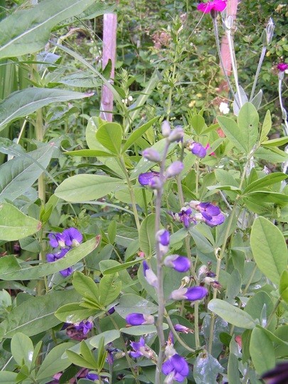 baptisia australis (Baptisia australis (Blue False Indigo))
