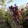 Alaskan Tricolor Willow
