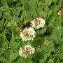 Bee_on_clover