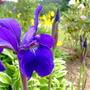 Blue flag (Iris prismatica) (Iris prismatica (Slender Blue Flag))