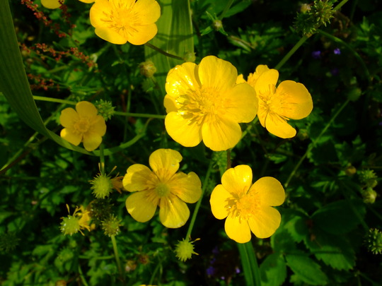 buttercups (Ranunculus repens (Creeping Buttercup))