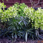 "Helleborus foetidus ""Wester flisk"" (Helleborus argutifolius (Corsican hellebore))"