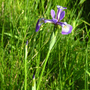 Slender blue flag, Iris prismatica (Iris prismatica (Slender Blue Flag))
