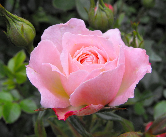 Pink Patio Rose