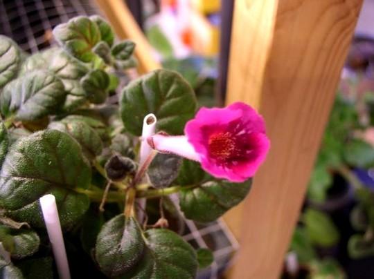 Minisinningia Fuschia Treasure (gesneriaceá minisinningia)