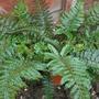 garden fern