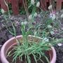 ornamental grass 1 (Lagurus ovatus (Bunny Tails Grass))