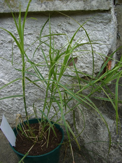 ornamental grass 2 (Carex muskingumensis oheme)