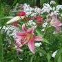 Oriental Lily Stargazer (Lilium speciosum (Lily))