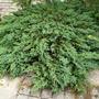 Juniperus_prostrata
