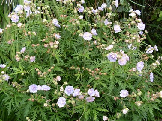 Hardy geranium 2 (Geranium macrorhizum 'Max Frei.')