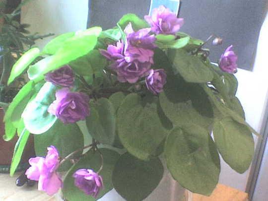 african_violet0407.jpg (Saintpaulia ionantha)