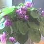 African_violet0407