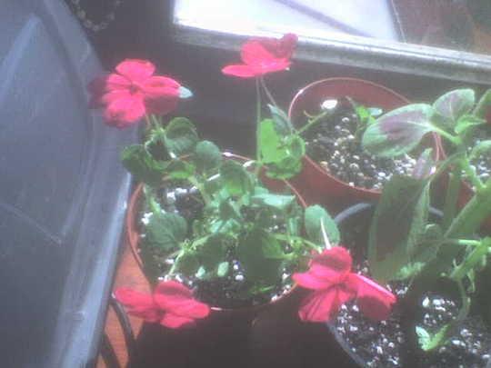 Red Impatiens (Impatiens walleriana (Busy Lizzie))